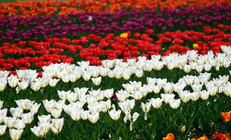 Fält av röda och vita tulpan arkivfoton