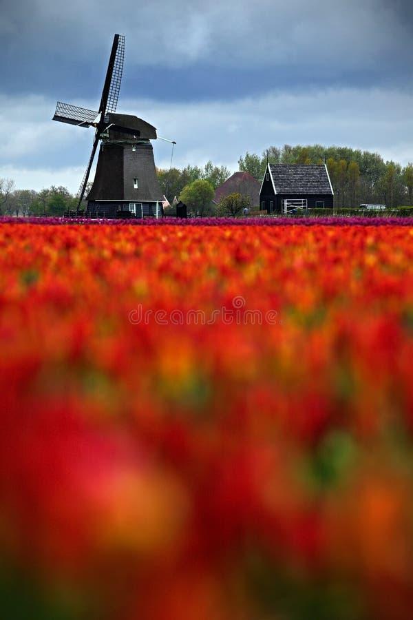 Fält av röda tulpan med väderkvarnen in mot en stormig seende himmel, Holland traditionslandskap, regnig dag Holland, Nederländer arkivbild
