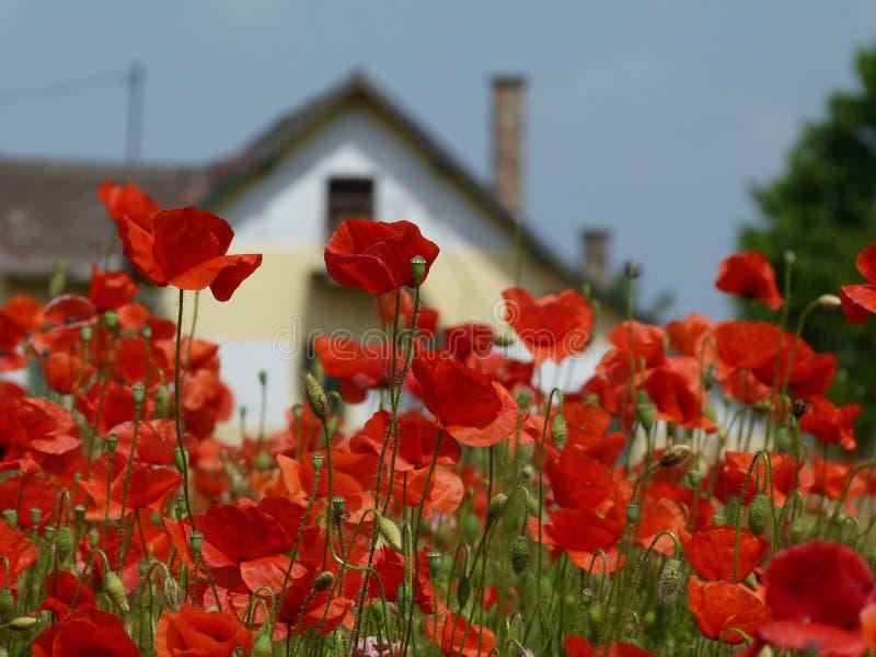 Fält av röda vallmo under blå himmel med huset i bakgrund royaltyfri foto