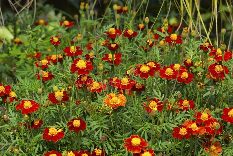 Fält av ringblommor Använt i hinduisk religion som garnering och den lovande blomman arkivfoton
