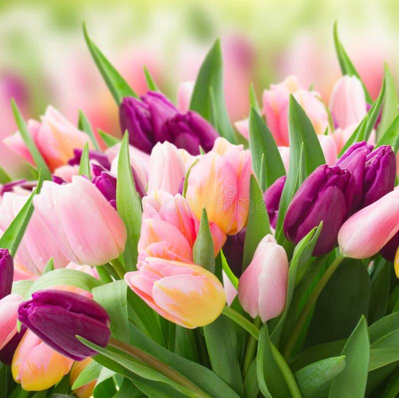 Fält av rosa färg- och violettulpan arkivfoton