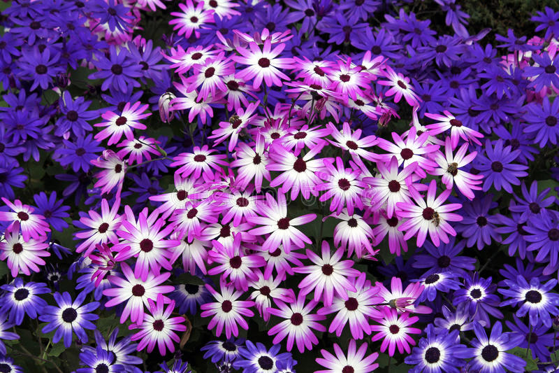 Fält av rosa och purpurfärgade Daisy Flowers royaltyfri foto