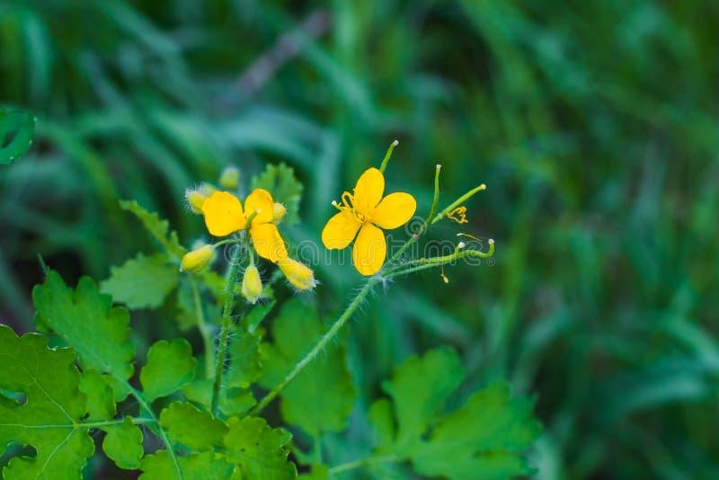 Fält av små gula blommor fotografering för bildbyråer