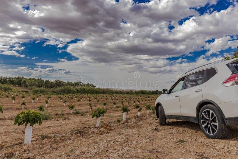 Fält av små körsbärsröda träd med den vita bilen arkivbilder