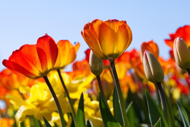 Fält av solen för tulpan på våren arkivbilder