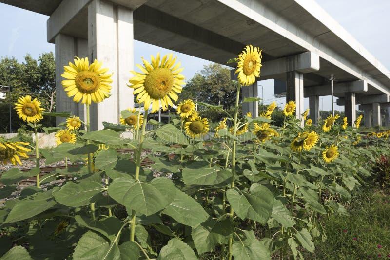 Fält av solrosor bredvid järnväg och under huvudvägen royaltyfria foton