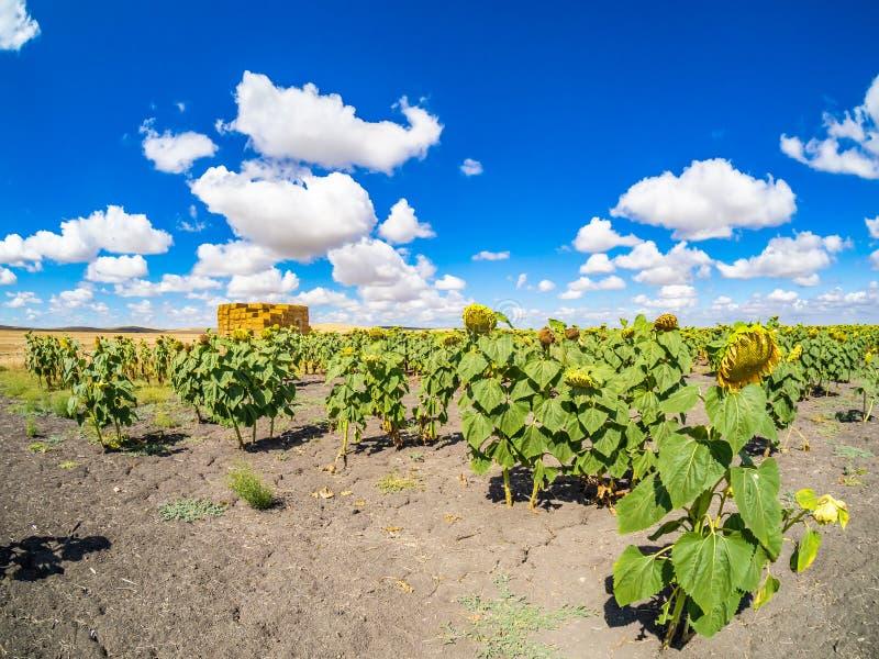 Fält av solrosor i den Sevillian bygden arkivfoton