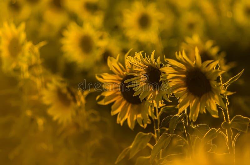 Fält av solrosor i solen fotografering för bildbyråer