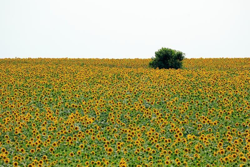 Fält av solrosor i sommar arkivbilder