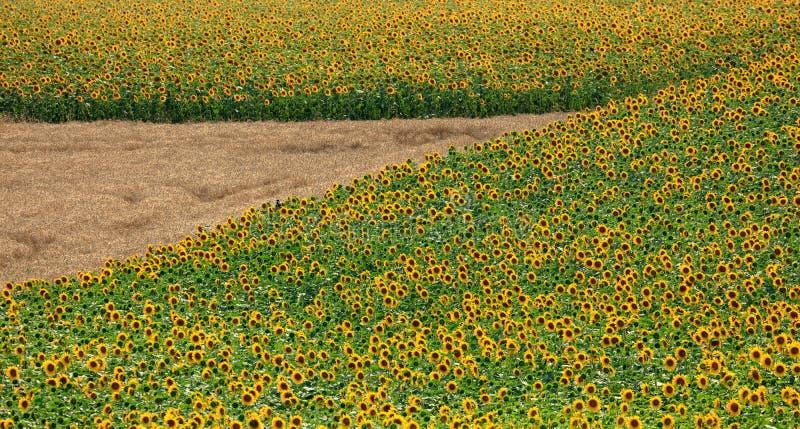 Fält av solrosor i sommar royaltyfri bild