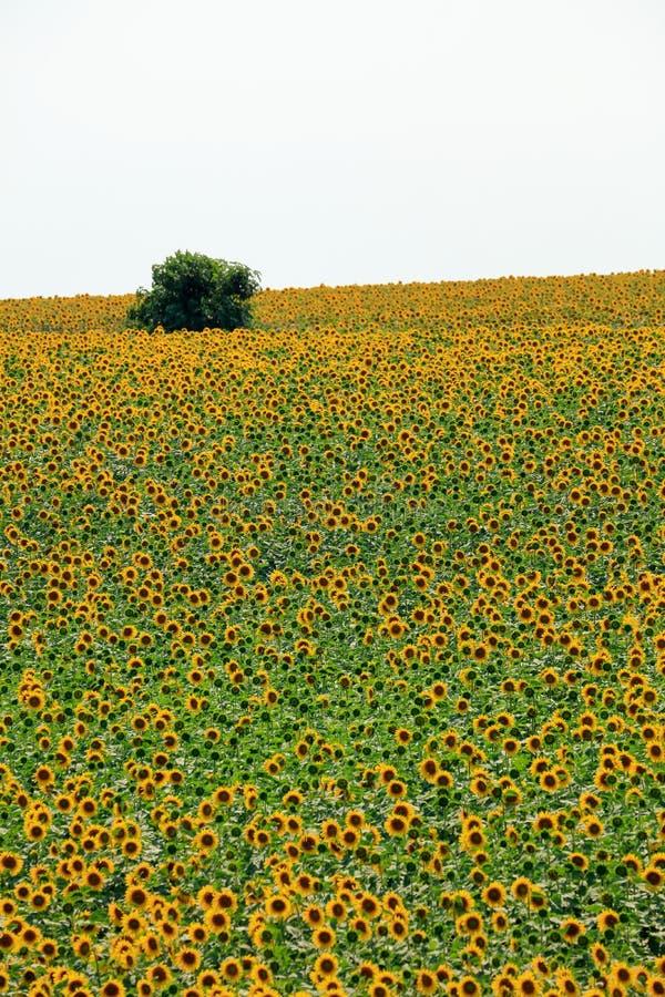 Fält av solrosor i sommar fotografering för bildbyråer