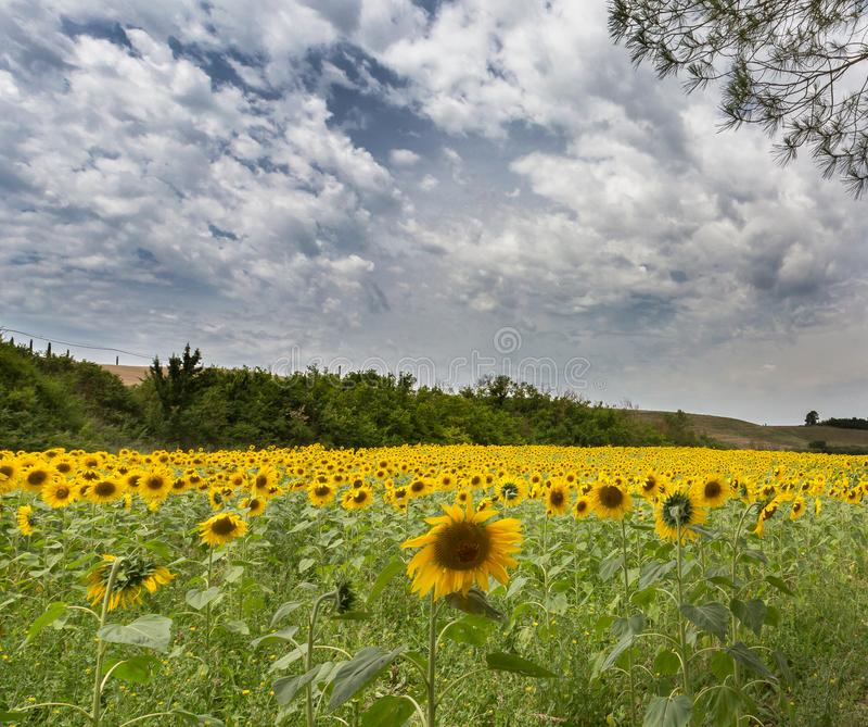 Fält av solrosor i Tuscany i Juli arkivfoton