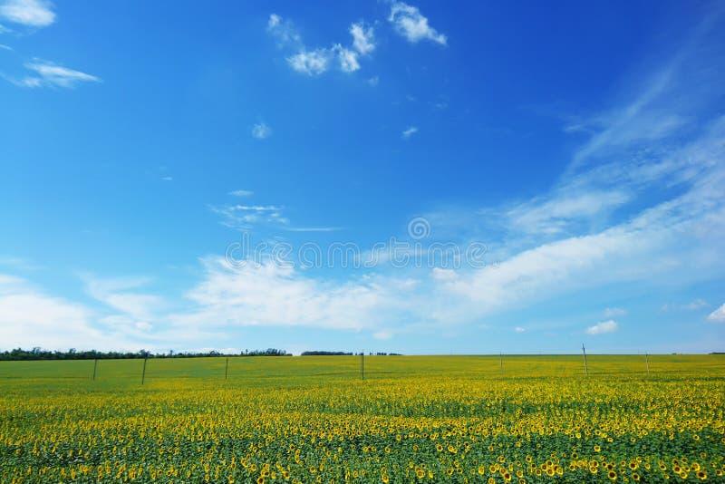 Fält av solrosor och blå himmel med moln på solig dag royaltyfri fotografi