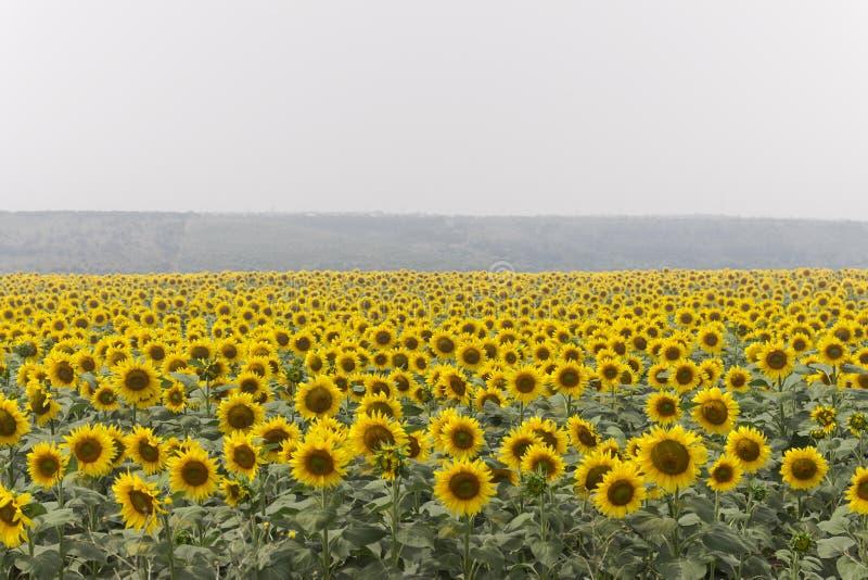 Fält av solrosor på dimmig dag Blommande solrosäng i ogenomskinlighet SOMMAREN landskap arkivbild