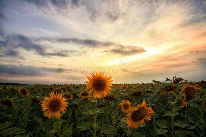 Fält av solrosor på solnedgångbakgrund fotografering för bildbyråer