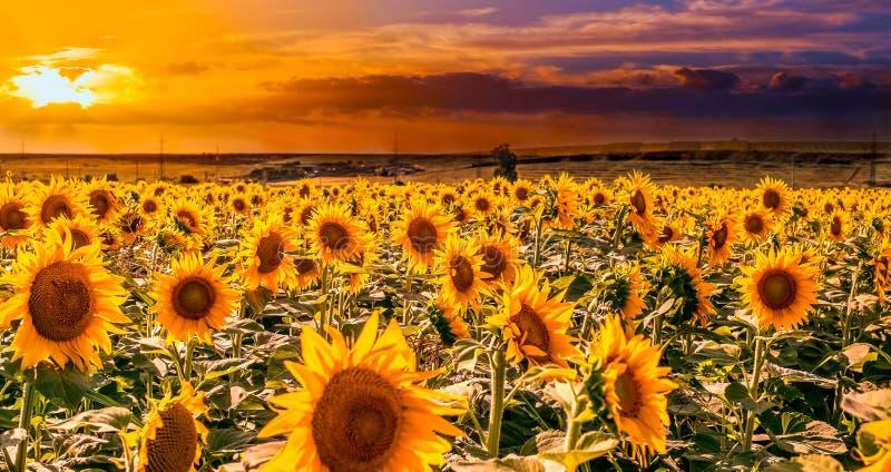 Fält av solrosor på solnedgången royaltyfria foton
