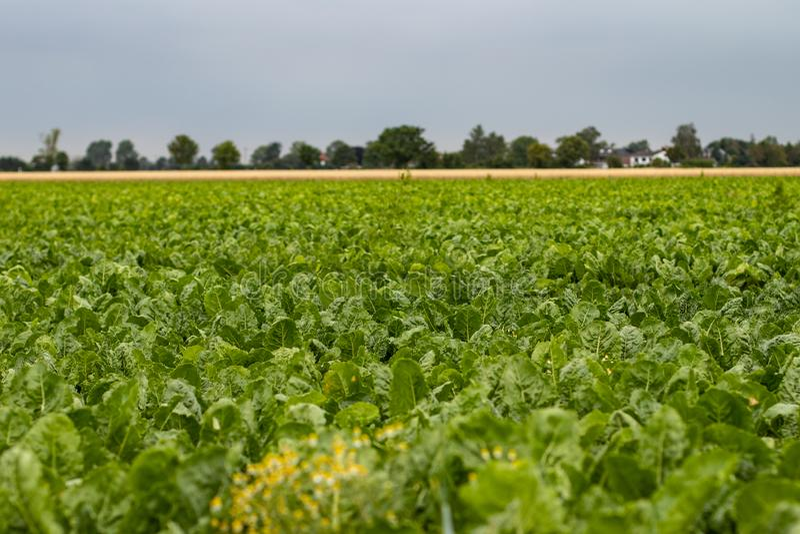 Fält av sugerbeta, gröna leafes fotografering för bildbyråer