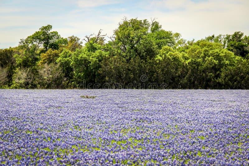 Fält av Texas Hill Country Bluebonnets arkivbild