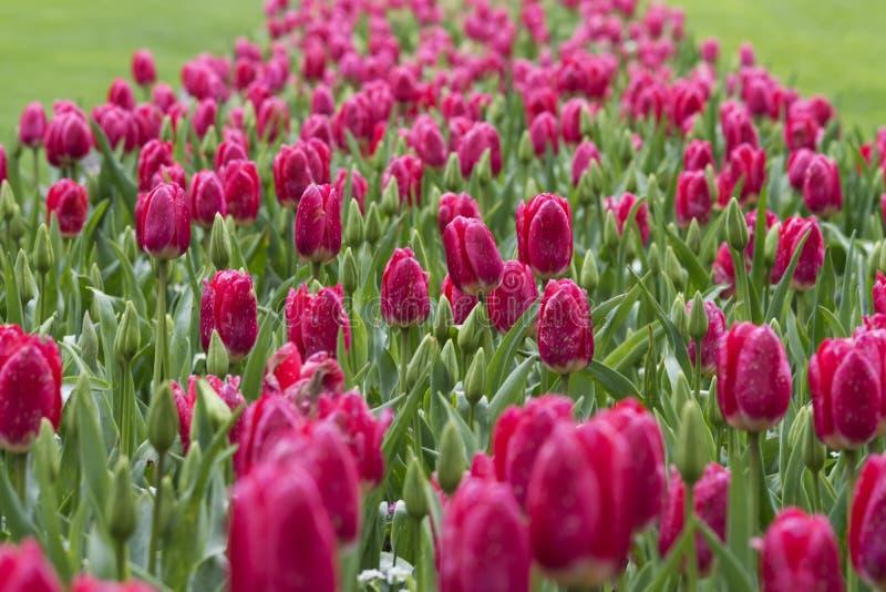 Fält av tulpan, Butchart trädgårdar, Kanada royaltyfria bilder