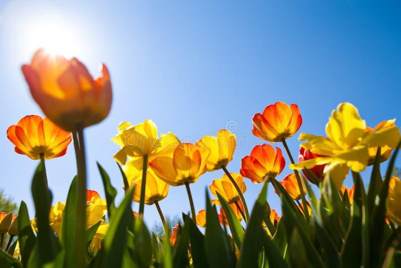 Fält av tulpan i solen royaltyfri foto