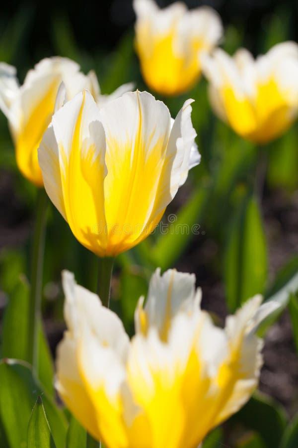 Fält av tulpan i solen royaltyfri fotografi