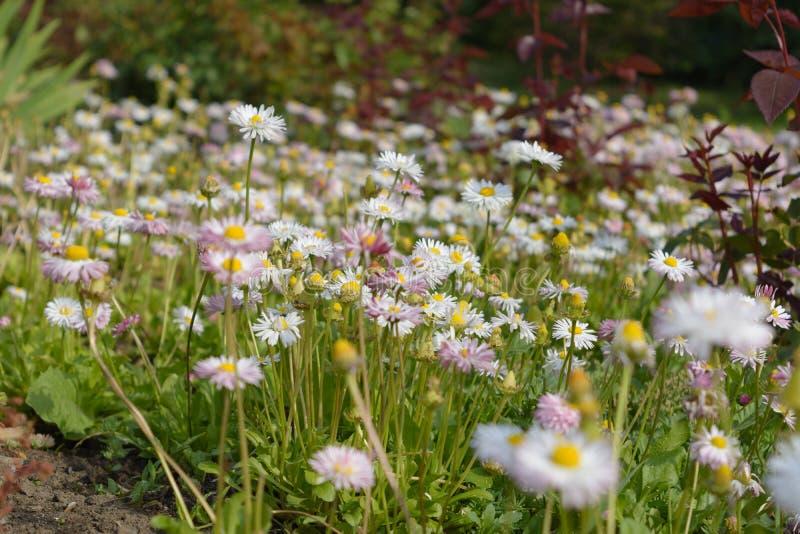 Fält av tusenskönor och andra lösa blommor arkivfoto