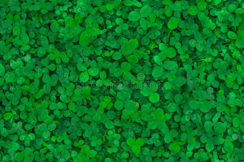 Fält av växt av släktet Trifolium Grön bakgrund för dag för St Patrick ` s royaltyfri bild