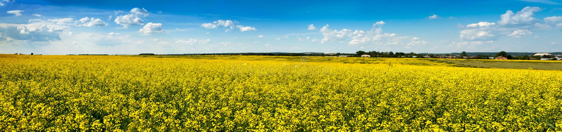 Fält av våldtar i blom under blå himmel royaltyfri fotografi
