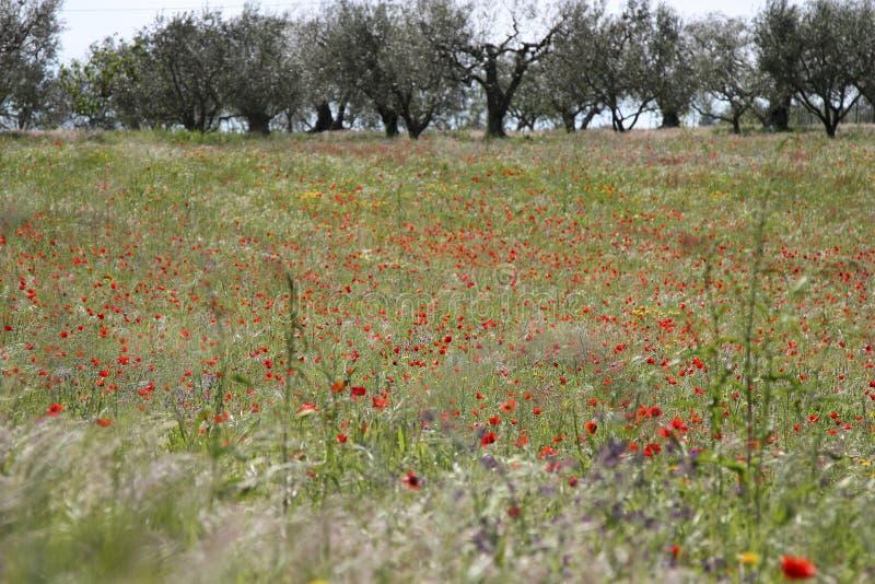 Fält av vallmo och olivträd arkivbilder