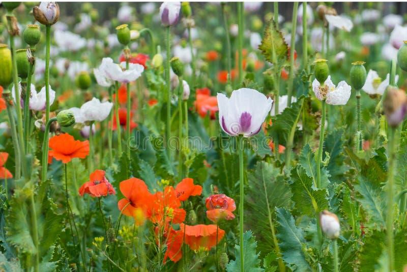 Fält av vallmovit och röda blommor royaltyfri fotografi