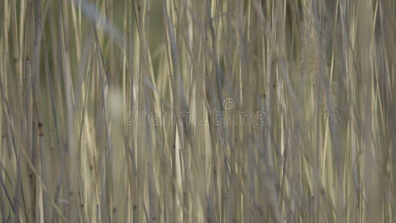 Fält av vassen fotografering för bildbyråer
