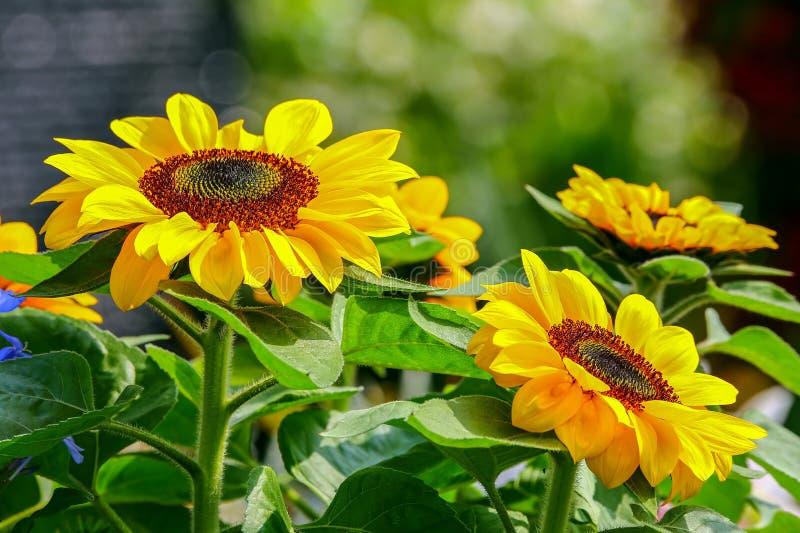 Fält av vibrerande solrosor under solen royaltyfria foton