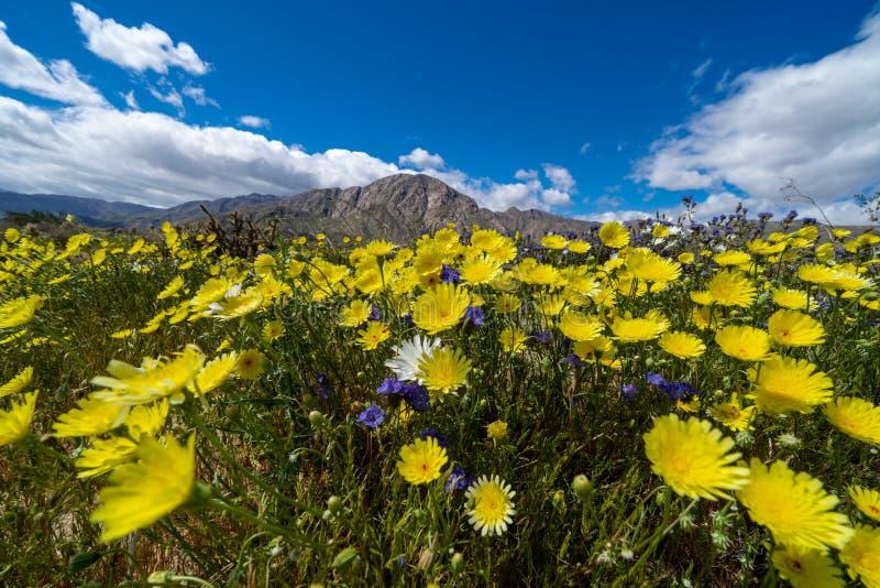 Fält av vildblommor i den Anza Borrego delstatsparken i Kalifornien under den sällsynta superbloomhändelsen på en solig dag Visat royaltyfri fotografi
