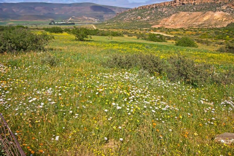 Fält av vit- och gulingtusenskönor fotografering för bildbyråer