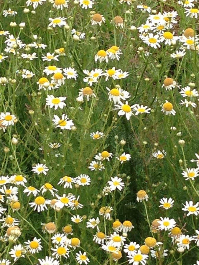 Fält av vit- och gulingtusenskönor arkivbild