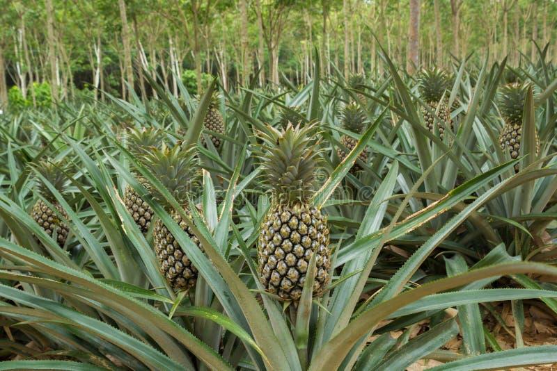 Fält för ananasväxt royaltyfri bild