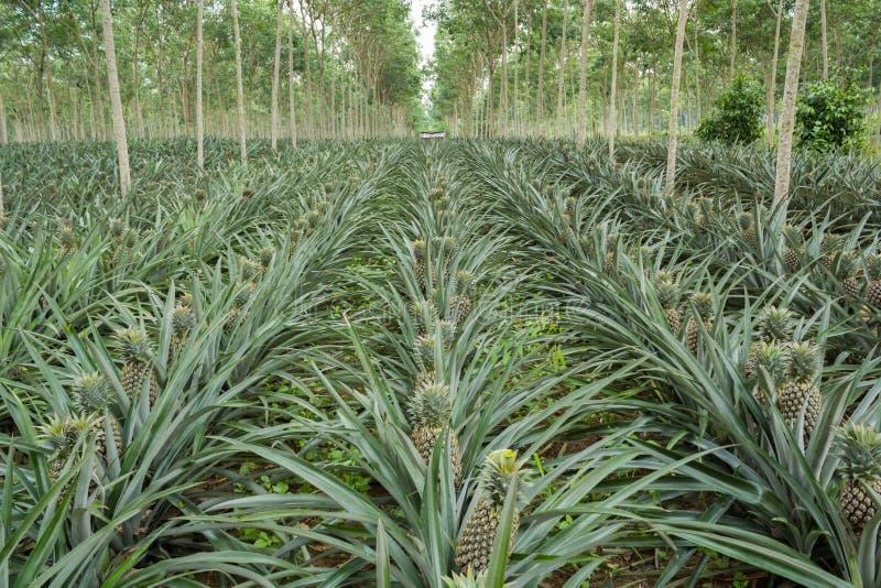 Fält för ananasväxt royaltyfria bilder