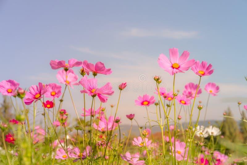 Fält för blomma för The†‹kosmos med blå himmel, kosmosblommafält som blommar vårblommasäsong royaltyfri fotografi
