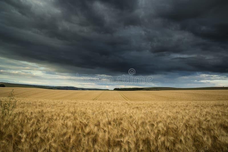 Fält för bygdlandskapvete i sommarsolnedgång med stormigt D arkivbild