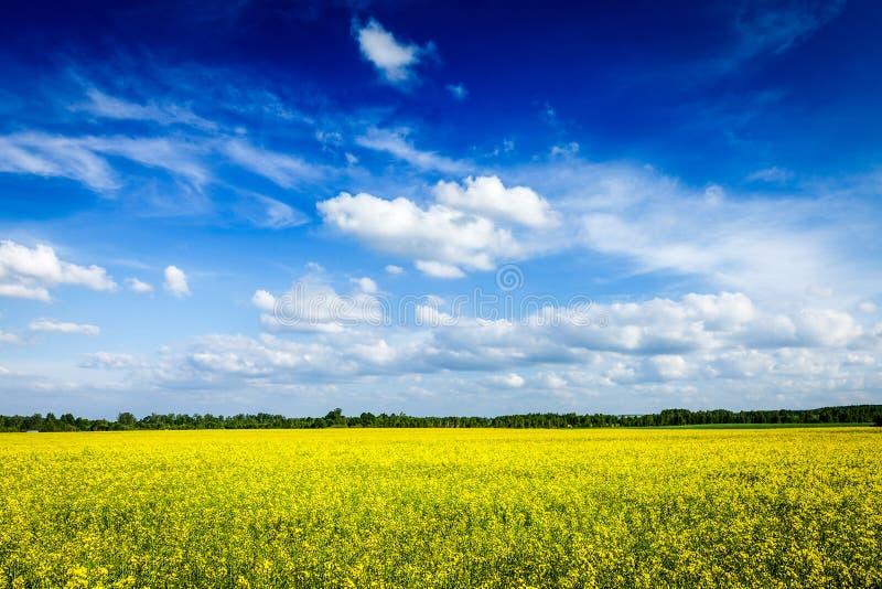 Fält för canola för vårsommarbakgrund och blå himmel royaltyfria bilder