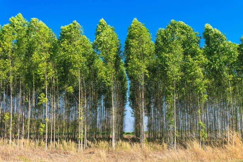 Fält för eukalyptusträd arkivfoton