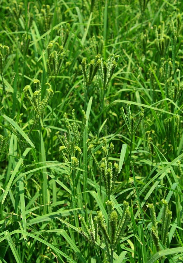 Fält för gräsplan för lantgård för fingerhirsväxt arkivbilder