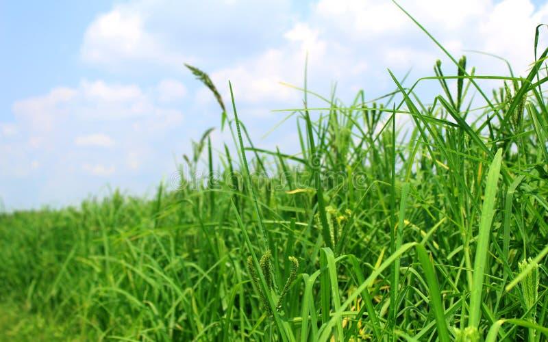 Fält för gräsplan för lantgård för fingerhirsväxt med himmel arkivfoton
