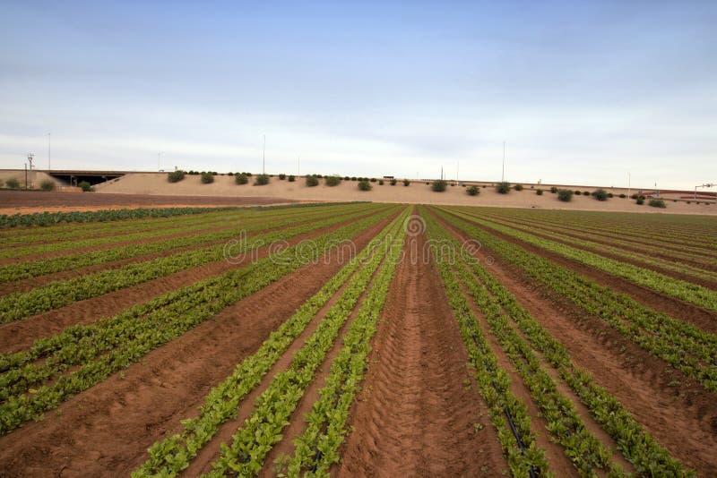 Fält för grönsallatgrönsaklantgård i Arizona royaltyfri bild