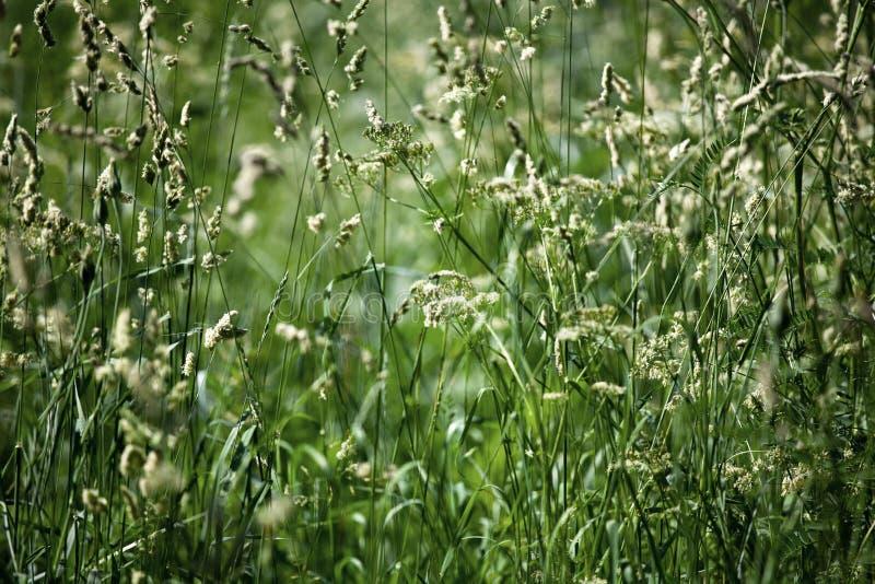 Fält för grönt gräs på den suddiga bokehbakgrundscloseupen, öron på ängmakro, härlig gräsmatta för solig dag för sommar, natur fö royaltyfria bilder