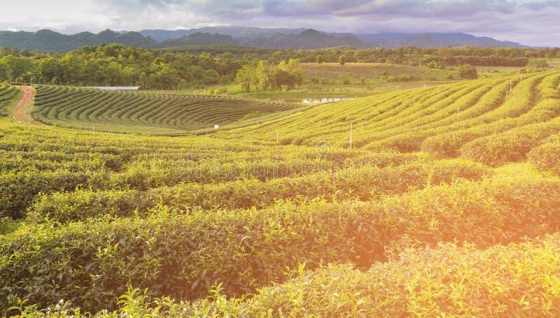 Fält för grönt te över höjdkulleberget arkivfoton
