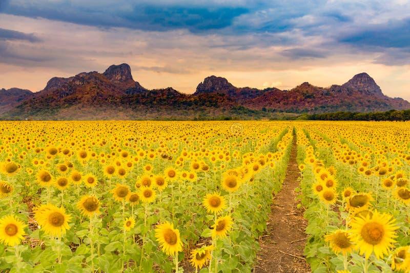 Fält för jätte- solros med berget arkivbilder