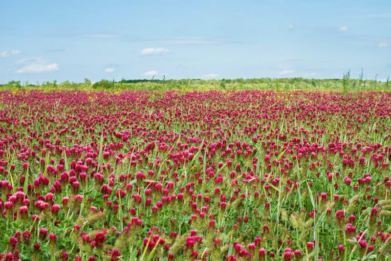 Fält för karmosinröd växt av släktet Trifolium royaltyfria bilder
