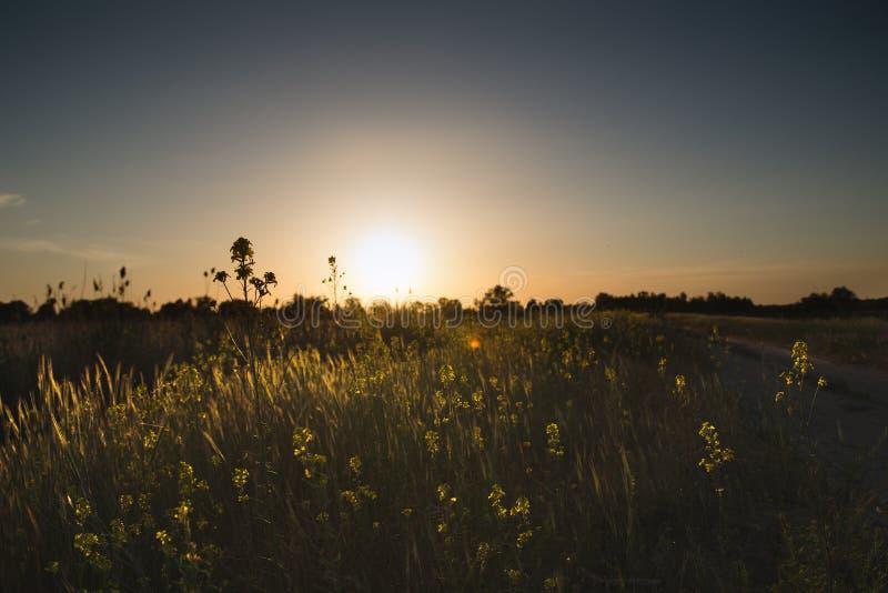 Fält för landskapnatursommar av blommor på solnedgången royaltyfri bild
