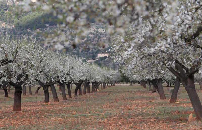Fält för mandelträd royaltyfri bild